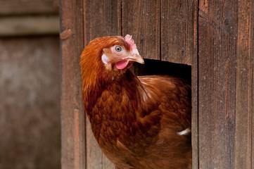 hühnerportrait halb im stall