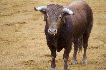 Brown bull in the spanish bullfighting arena