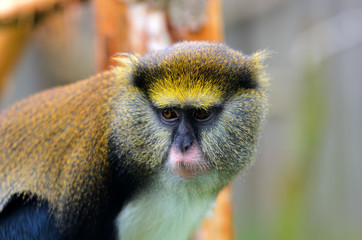 Lowes Guenon