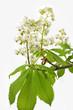 Blüte einer Rosskastanie auf weißem Hintergrund