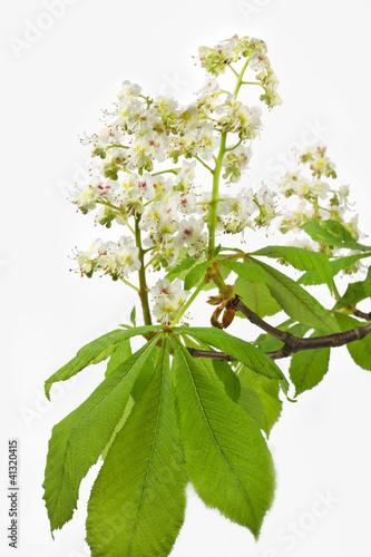 canvas print picture Blüte einer Rosskastanie auf weißem Hintergrund