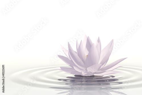 Schwimmende Schönheit. Lotosblüte.