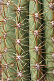 thorns and spines very pungent a fat cactus