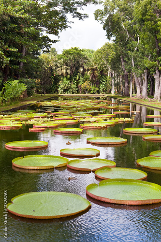The lake in park with Victoria amazonica,Victoria regia.