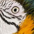 Portrait of Blue and Yellow Macaw, Ara Ararauna, eye