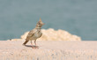 A beautiful crested lark in Bahrain