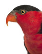 Portrait of Black-capped Lory, Lorius lory