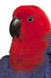 Close up of Female Eclectus Parrot, Eclectus roratus