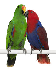 Male and Female Eclectus Parrots, Eclectus roratus