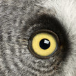Portrait of Great Grey Owl or Lapland Owl, Strix nebulosa