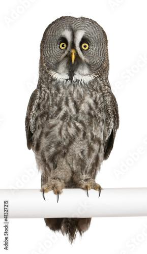 Portrait of Great Grey Owl or Lapland Owl, Strix nebulosa