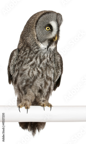 Great Grey Owl or Lapland Owl, Strix nebulosa, a very large owl
