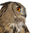 Close up of Eurasian Eagle-Owl, Bubo bubo