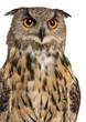 Portrait of Eurasian Eagle-Owl, Bubo bubo
