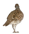 Grey Partridge, Perdix perdix