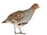 Portrait of Grey Partridge, Perdix perdix