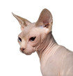 Close up of Sphynx cat, 6 months old