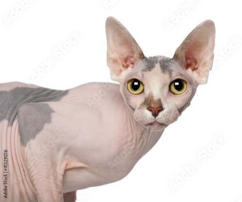 Portrait of Sphynx cat, 1 year old