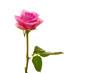 Rose,Hintergrund
