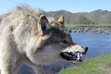 Fototapeta niebezpieczny - dentystyczny - Dziki Ssak