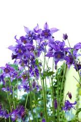 Akelei - zart lila /   Aquilegia vulgaris