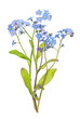 Forget-me-not flowers on white