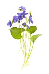 Spring violets on white