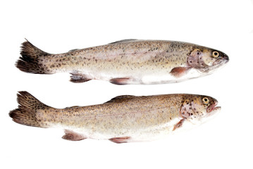 Fresh rainbow trout fish