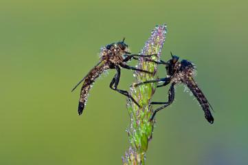 Dittero Asilidae - Neoitamus sp