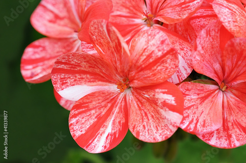 Red and white pelargonium