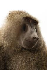 Baboon in the Kenya