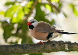 Shaft-tail Finch - Poephila acuticauda poster