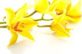 Fototapety 黄色いシンビジウムの花