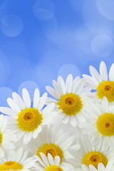 Daisy flowers against blue spotted background