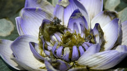 violet lotus and bee