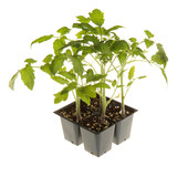 Tomato seedlings ready for transplanting square poster