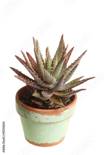 Small potted aloe plant against white