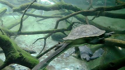 Snake-necked turtle swimming underwater