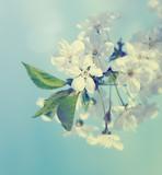 Fototapety Cherry Blossoms