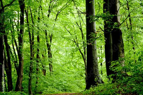 Keuken foto achterwand Bossen Beech forest