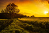 Fototapety Canola Field At Sunset
