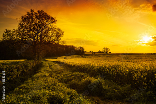 Canola Field At Sunset