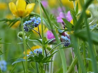 Vergissmeinnicht Blumenwiese