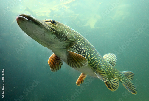 Underwater photo of big Pike (Esox Lucius).