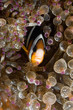 Clownfish, Amphiprion clarkii, hiding in host sea anemone