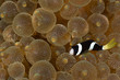 Clownfish, Amphiprion clarkii,