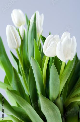 Białe tulipany. © mschenk
