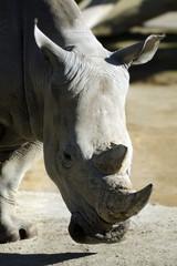 Wildlife and Animals - Rhinoceros
