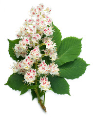 Horse-chestnut flowers and leaf