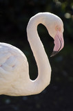 Wildlife and Animals - Flamingo